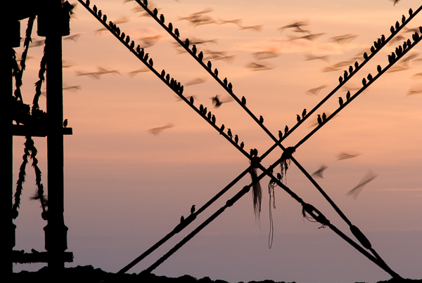 Starlings, Aberystwyth: Saturday February 16th 2013