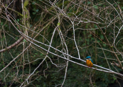 Kingfisher, south Wales