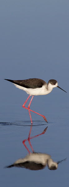 Black-winged stilt, Ile de Re.
