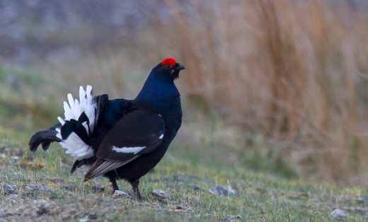 Black grouse, north Wales