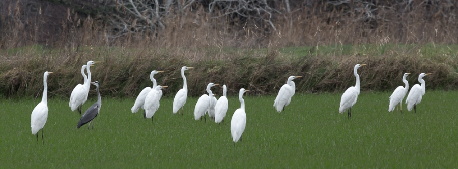 Great white egrets, the Camargue