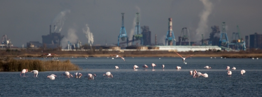 Flamingos, the Camargue