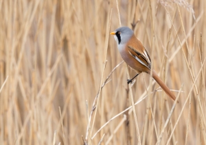 Bearded tit, Titchwell