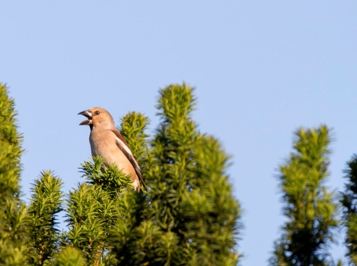 Hawfinch on yew.