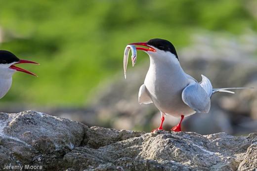 Arctic tern - the Skerries