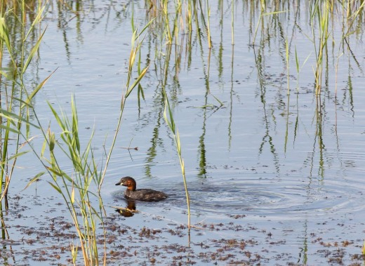 Little grebe, Minsmere