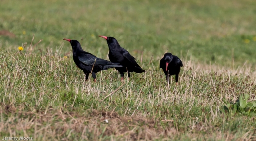 Choughs, Whitesands