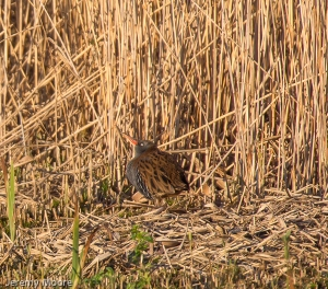 Sunbathing water rail