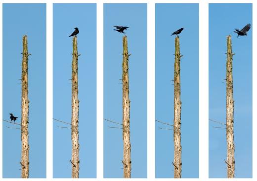 Bird / land no. 15 - crows