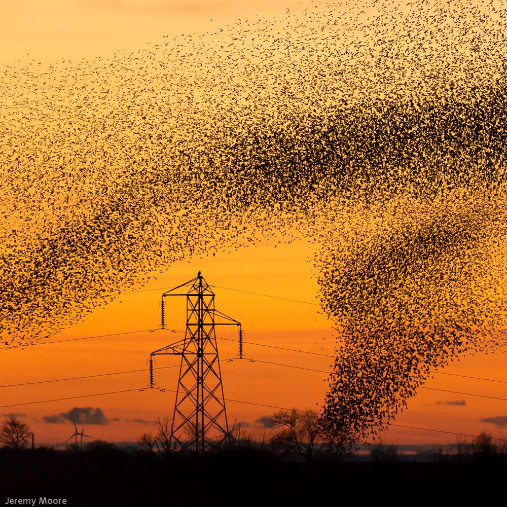 Starlings entering roost site, near Gretna Green.
