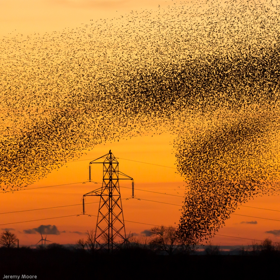 Starlings entering roost site, near Gretna Green.