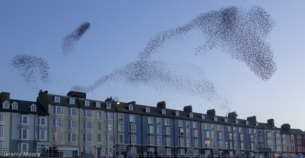 Starlings over Aberystwyth