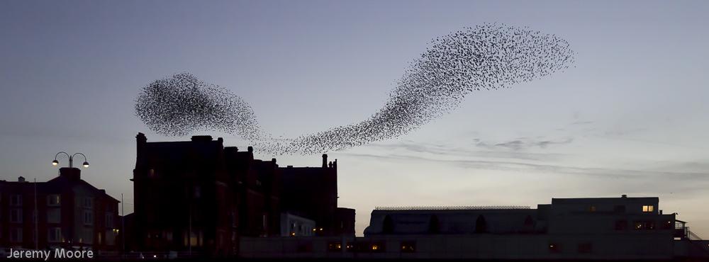More starlings