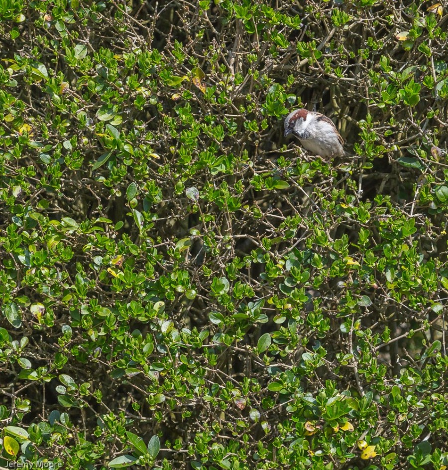 House sparrow, Corfe Castle (click to enlarge)