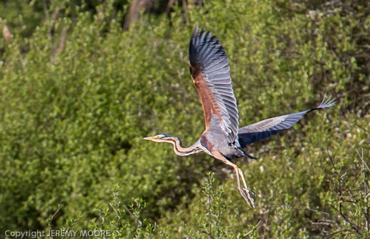 Purple heron : what an amazing creature!