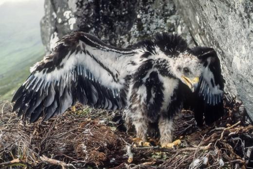 Golden eaglet, Isle of Mull, summer 1981