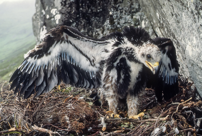 Golden eaglet, Isle of Mull, summer 1981