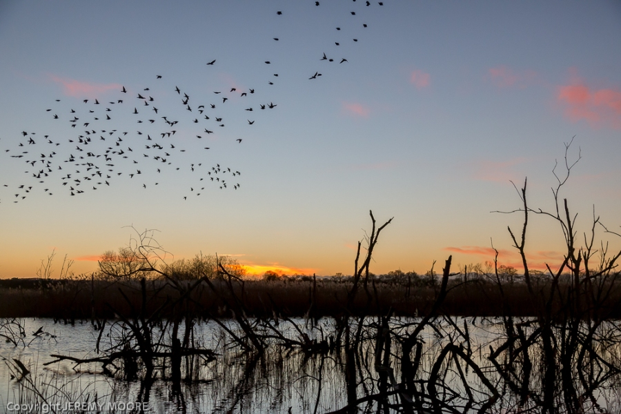 Starlings, Avalon marshes, Somerset