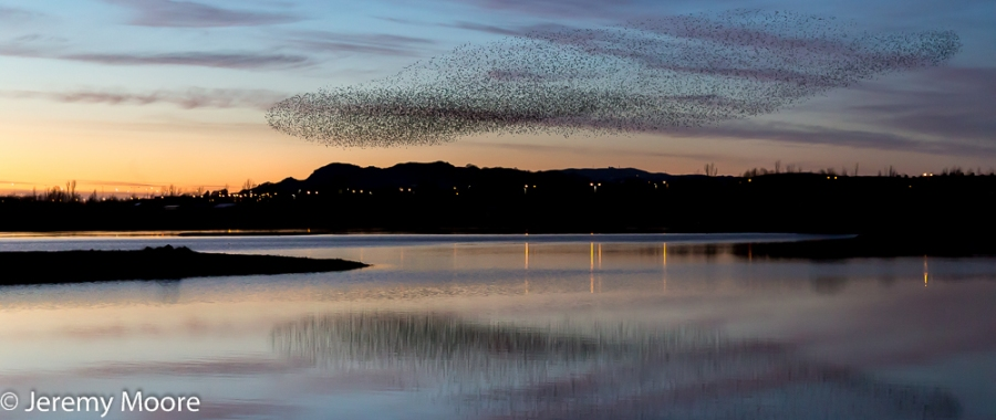 Starlings in pre-roost display, RSPB Conwy reserve.