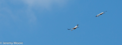 Common cranes, Lakenheath Fen