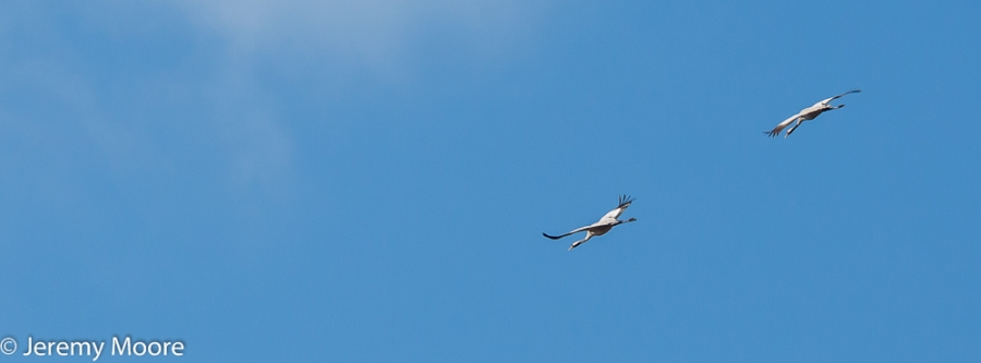 Common cranes, Lakenheath Fen