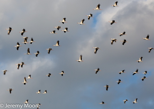 White storks on migration, part of a flock of about 150