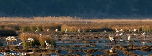 White storks near Gruissan (600mm)