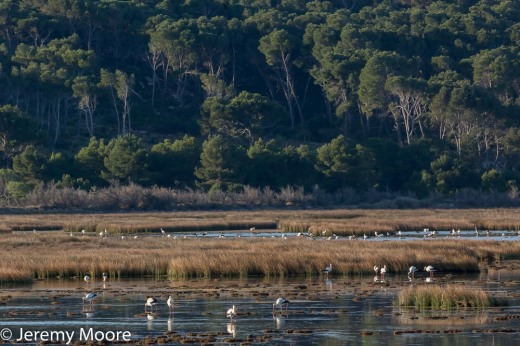 White storks near Gruissan (at 400 mm)