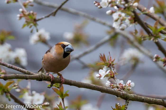Hawfinch in cherry tree, Dolgellau