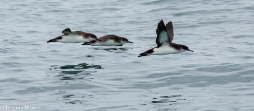 Manx shearwaters, Cardigan Bay