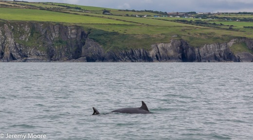 Bottlenose dolphins off Mwnt