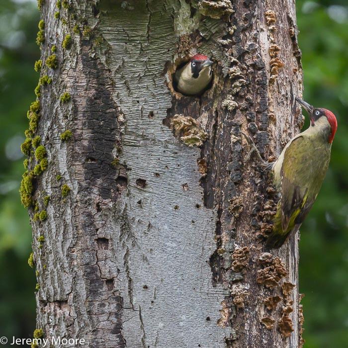 Green woodpeckers at the nest, near Abergavenny.