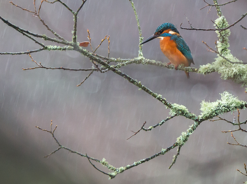 Kingfisher in the rain, Teifi Marshes
